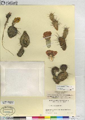 (Opuntia x columbiana - CCDB-23325-E02)  @11 [ ] CreativeCommons - Attribution Non-Commercial Share-Alike (2014) CBG Photography Group Centre for Biodiversity Genomics