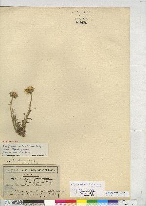 (Erigeron - CCDB-24918-B01)  @11 [ ] CreativeCommons - Attribution Non-Commercial No Derivatives (2014) CMN/BIO Canadian Museum of Nature