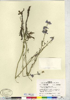 (Delphinium - CCDB-24918-F06)  @11 [ ] CreativeCommons - Attribution Non-Commercial No Derivatives (2014) CMN/BIO Canadian Museum of Nature
