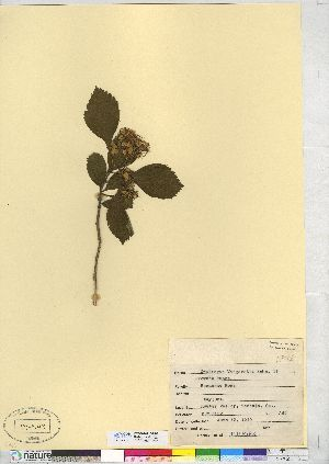 (Crataegus margarettae - CCDB-24918-H07)  @11 [ ] CreativeCommons - Attribution Non-Commercial No Derivatives (2014) CMN/BIO Canadian Museum of Nature