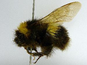 (Bombus florilegus - SHMEL-D04)  @13 [ ] Copyright (2011) Timofey V. Levchenko State Darwin museum