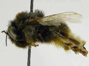 (Bombus confusus - SHMEL-F02)  @14 [ ] Copyright (2011) Timofey V. Levchenko State Darwin museum