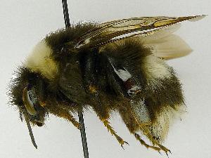 (Bombus albocinctus - SHMEL-F05)  @14 [ ] Copyright (2011) Timofey V. Levchenko State Darwin museum