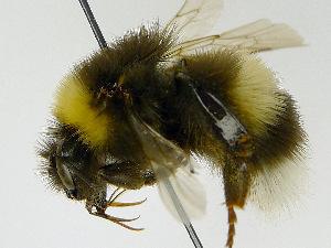 (Bombus albocinctus - SHMEL-G01)  @14 [ ] Copyright (2011) Timofey V. Levchenko State Darwin museum