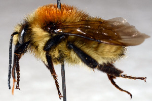 (Bombus laesus - SHMEL-G07)  @14 [ ] Copyright (2011) Yury N. Danilov Institute of Systematic and Ecology of Animals SB RAS