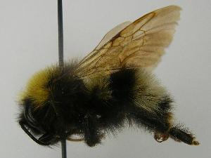 (Bombus norvegicus - PCHELA-B03)  @15 [ ] Copyright (2010) Timofey Levchenko Unspecified