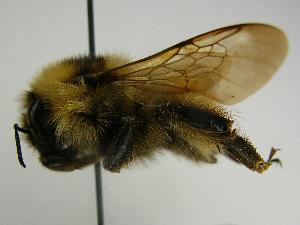 (Bombus maculidorsis - PCHELA-B10)  @16 [ ] Copyright (2010) Timofey Levchenko Unspecified