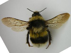 (Bombus patagiatus - PCHELA-C02)  @14 [ ] Copyright (2010) Timofey Levchenko Unspecified