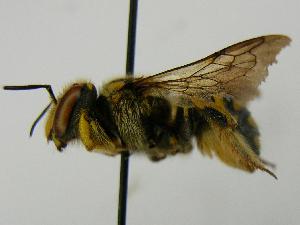 (Anthidium florentinum - PCHELA-E03)  @14 [ ] Copyright (2010) Timofey Levchenko Unspecified