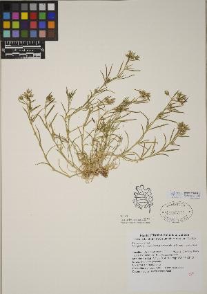 (Spergularia - CCDB-23367-B10)  @11 [ ] CreativeCommons - Attribution Non-Commercial No Derivatives (2014) Linda Jennings University of British Columbia