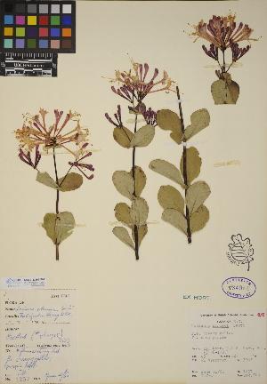 (Lonicera etrusca - CCDB-23367-F07)  @11 [ ] CreativeCommons - Attribution Non-Commercial No Derivatives (2014) Linda Jennings University of British Columbia