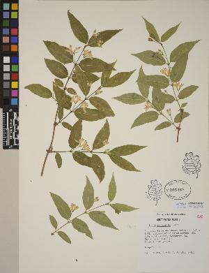 (Lonicera chrysantha - CCDB-23367-G07)  @11 [ ] CreativeCommons - Attribution Non-Commercial No Derivatives (2014) Linda Jennings University of British Columbia