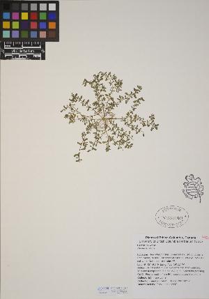 (Herniaria - CCDB-23367-G08)  @11 [ ] CreativeCommons - Attribution Non-Commercial No Derivatives (2014) Linda Jennings University of British Columbia