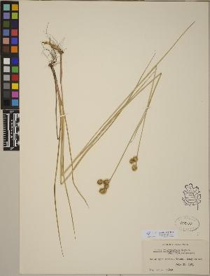 (Juncus brachycarpus - CCDB-23390-B10)  @11 [ ] CreativeCommons - Attribution Non-Commercial No Derivatives (2014) Linda Jennings University of British Columbia
