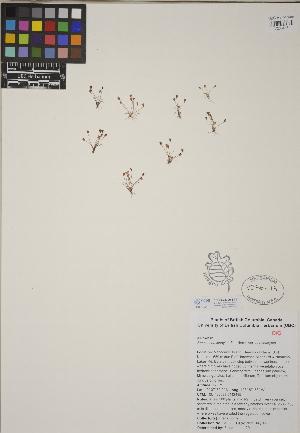 (Juncus hemiendytus var. hemiendytus - CCDB-23390-B11)  @11 [ ] CreativeCommons - Attribution Non-Commercial No Derivatives (2014) Linda Jennings University of British Columbia