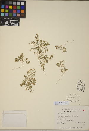 (Euphorbia geyeri - CCDB-23390-C03)  @11 [ ] CreativeCommons - Attribution Non-Commercial No Derivatives (2014) Linda Jennings University of British Columbia