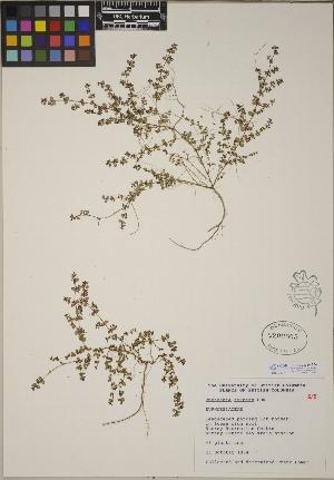 (Euphorbia serpens - CCDB-23390-E04)  @11 [ ] CreativeCommons - Attribution Non-Commercial No Derivatives (2014) Linda Jennings University of British Columbia