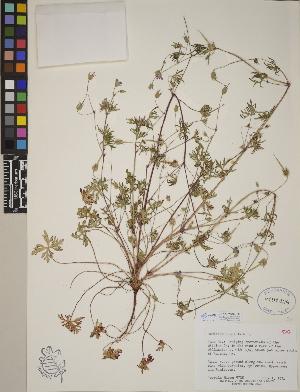 (Geranium columbinum - CCDB-23390-H09)  @11 [ ] CreativeCommons - Attribution Non-Commercial No Derivatives (2014) Linda Jennings University of British Columbia