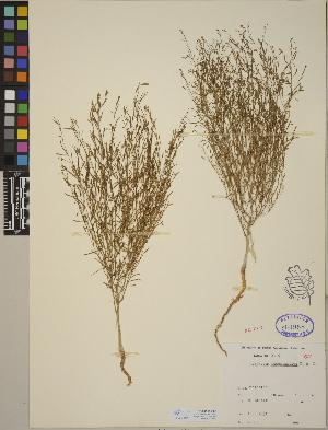 (Gayophytum - CCDB-24910-C02)  @11 [ ] CreativeCommons - Attribution Non-Commercial No Derivatives (2014) Linda Jennings University of British Columbia