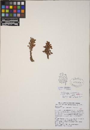(Orobanche corymbosa subsp. mutabilis - CCDB-24910-G09)  @11 [ ] CreativeCommons - Attribution Non-Commercial No Derivatives (2014) Linda Jennings University of British Columbia