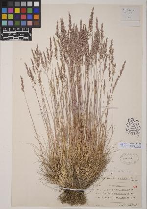 (Corynephorus - CCDB-24911-B07)  @11 [ ] CreativeCommons - Attribution Non-Commercial No Derivatives (2014) Linda Jennings University of British Columbia