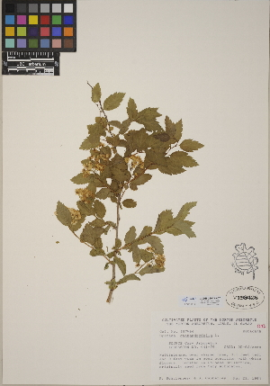 (Spiraea chamaedryfolia - CCDB-24913-A07)  @11 [ ] CreativeCommons - Attribution Non-Commercial No Derivatives (2014) Linda Jennings University of British Columbia