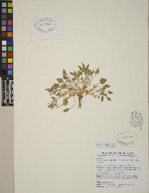 (Viola purpurea subsp. venosa - CCDB-24913-C12)  @11 [ ] CreativeCommons - Attribution Non-Commercial No Derivatives (2014) Linda Jennings University of British Columbia