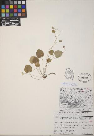 (Viola sempervirens - CCDB-24915-E01)  @11 [ ] CreativeCommons - Attribution Non-Commercial No Derivatives (2014) Linda Jennings University of British Columbia