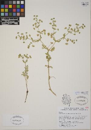 (Potentilla supina subsp. paradoxa - CCDB-24915-G08)  @11 [ ] CreativeCommons - Attribution Non-Commercial No Derivatives (2014) Linda Jennings University of British Columbia