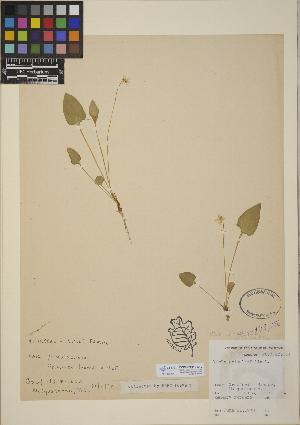 (Viola x sublanceolata - CCDB-24916-C12)  @11 [ ] CreativeCommons - Attribution Non-Commercial No Derivatives (2014) Linda Jennings University of British Columbia