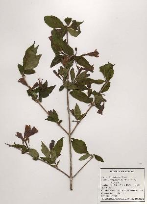 (Weigela florida - PDBK1997-0125)  @11 [ ] Copyright (1997) Ki Joong Kim Korea University Herbarium (KUS)
