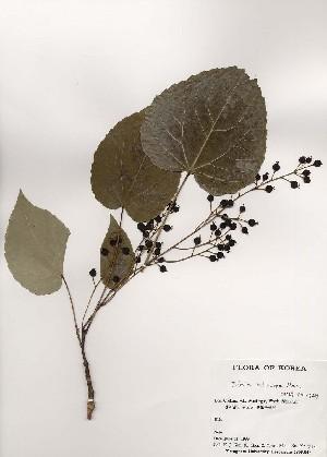(Idesia - PDBK1999-0737)  @11 [ ] Copyright (1999) Ki Joong Kim Korea University Herbarium (KUS)