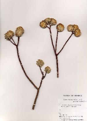 (Edgeworthia - PDBK2000-0205)  @11 [ ] Copyright (2000) Ki Joong Kim Korea University Herbarium (KUS)