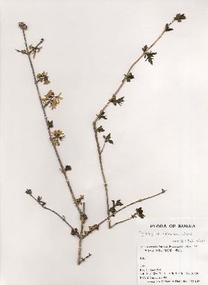 (Abeliophyllum - PDBK2000-0292)  @11 [ ] Copyright (2000) Ki Joong Kim Korea University Herbarium (KUS)