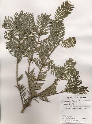 (Cephalotaxaceae - PDBK2000-0817)  @11 [ ] Copyright (2000) Ki Joong Kim Korea University Herbarium (KUS)