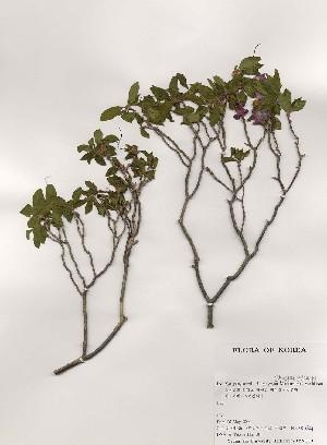 (Rhododendron mucronulatum - PDBK2000-0821)  @11 [ ] Copyright (2000) Ki Joong Kim Korea University Herbarium (KUS)