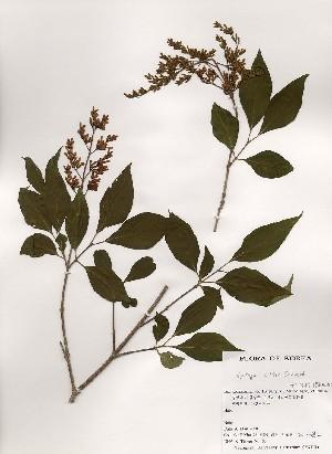 (Syringa - PDBK2000-0852)  @11 [ ] Copyright (2000) Ki Joong Kim Korea University Herbarium (KUS)