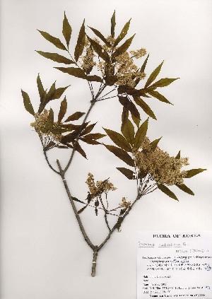 (Fraxinus sieboldiana - PDBK2000-0975)  @11 [ ] Copyright (2000) Ki Joong Kim Korea University Herbarium (KUS)