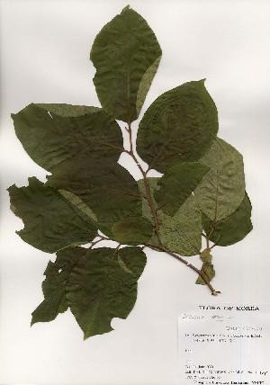 (Diospyros lotus - PDBK2000-1099)  @11 [ ] Copyright (2000) Ki Joong Kim Korea University Herbarium (KUS)