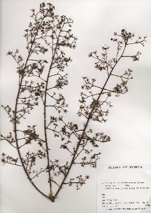 ( - PDBK2000-1477)  @11 [ ] Copyright (2000) Ki Joong Kim Korea University Herbarium (KUS)