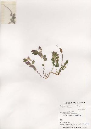 (Polygala japonica - PDBK2001-0343)  @11 [ ] Copyright (2001) Ki Joong Kim Korea University Herbarium (KUS)