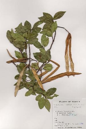 (Trachelospermum - PDBK2001-0356)  @11 [ ] Copyright (2001) Ki Joong Kim Korea University Herbarium (KUS)