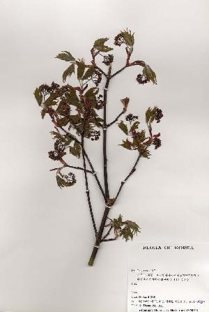 ( - PDBK2001-0583)  @11 [ ] Copyright (2001) Ki Joong Kim Korea University Herbarium (KUS)