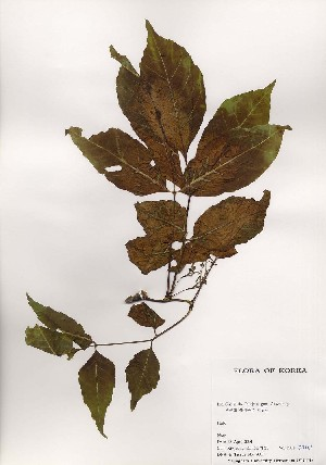 (Fraxinus mandshurica - PDBK2001-0710)  @11 [ ] Copyright (2001) Ki Joong Kim Korea University Herbarium (KUS)