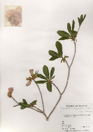 (Rhododendron schlippenbachii - PDBK2001-0714)  @11 [ ] Copyright (2001) Ki Joong Kim Korea University Herbarium (KUS)