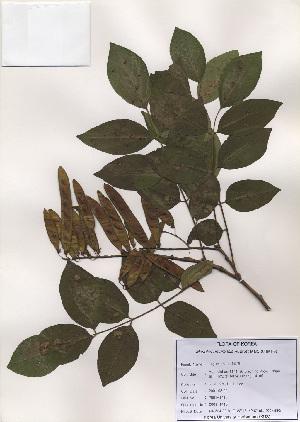 (Maackia - PDBK2001-1410)  @11 [ ] Copyright (2001) Ki Joong Kim Korea University Herbarium (KUS)