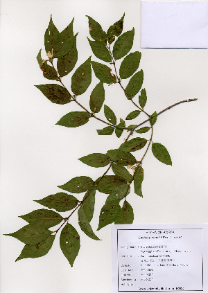 (Lonicera maackii - PDBK2002-0271)  @11 [ ] Copyright (2002) Ki Joong Kim Korea University Herbarium (KUS)