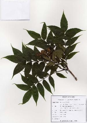 (Phellodendron - PDBK2003-0735)  @11 [ ] Copyright (2003) Ki Joong Kim Korea University Herbarium (KUS)