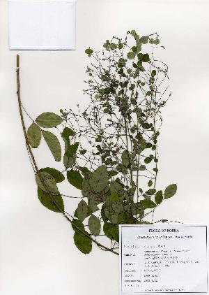 (Lespedeza - PDBK2003-1202)  @11 [ ] Copyright (2003) Ki Joong Kim Korea University Herbarium (KUS)