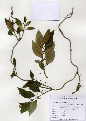 (Gardneria - PDBK2004-0886)  @11 [ ] Copyright (2004) Ki Joong Kim Korea University Herbarium (KUS)